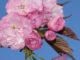 朝日緑地公園の八重桜